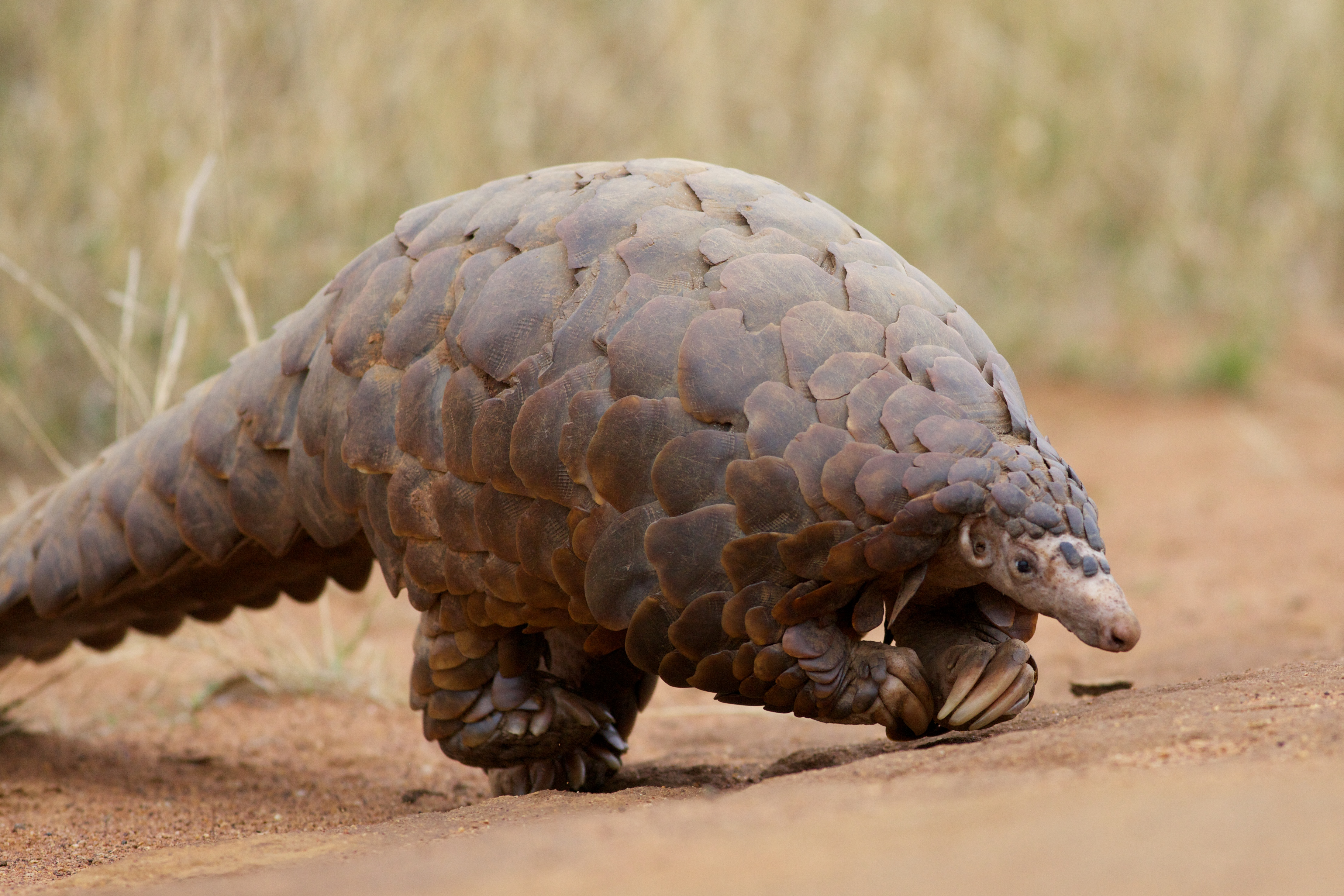 pangolin - HD 1230×820