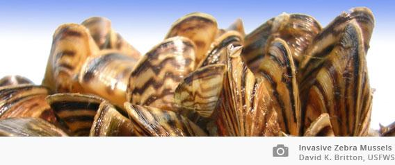 invasive mussels